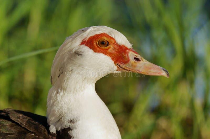 Ciérrese para arriba de la cabeza blanca roja del pato fotografía de archivo