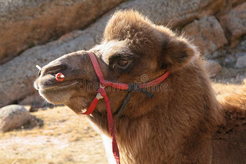 Ciérrese para arriba de la cabeza del camello bactriano en Mongolia imágenes de archivo libres de regalías