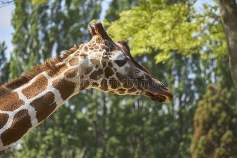 Ciérrese para arriba de la cabeza de la jirafa con el modelo largo hermoso del cuello y de los remiendos foto de archivo libre de regalías