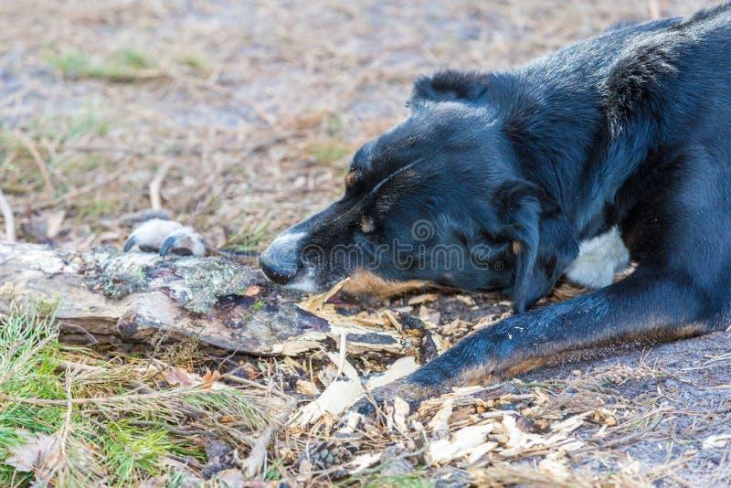 Ciérrese para arriba de la cabeza de perro negro que rompe una rama de madera en el medio del bosque fotografía de archivo libre de regalías