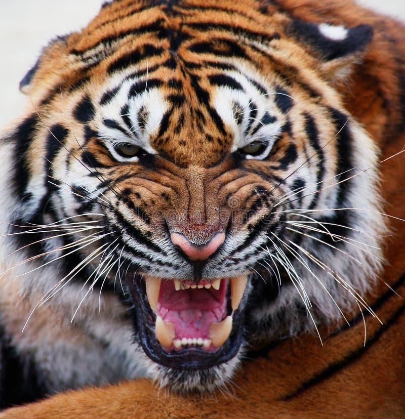 Ciérrese para arriba de la cara de un tigre con los dientes descubiertos imagen de archivo