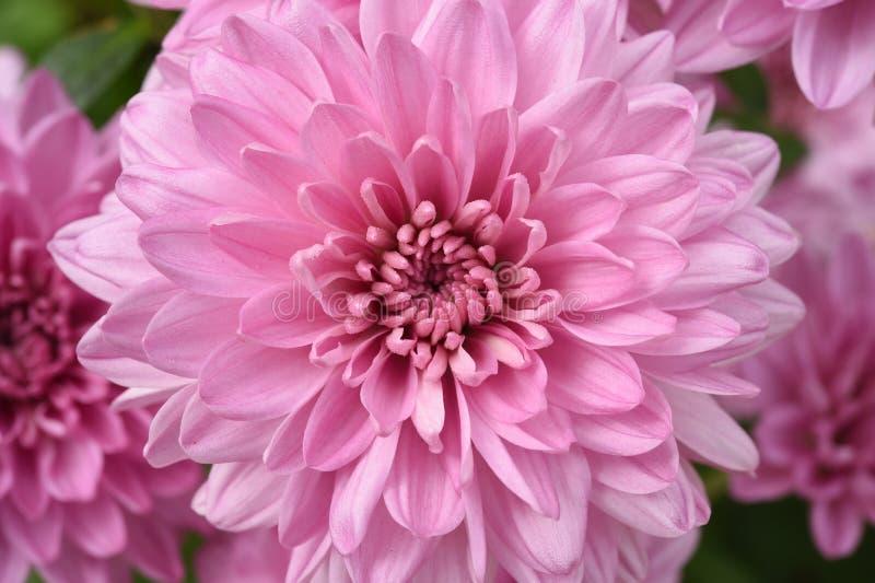 Ciérrese para arriba de la dalia de la flor para el fondo fotografía de archivo