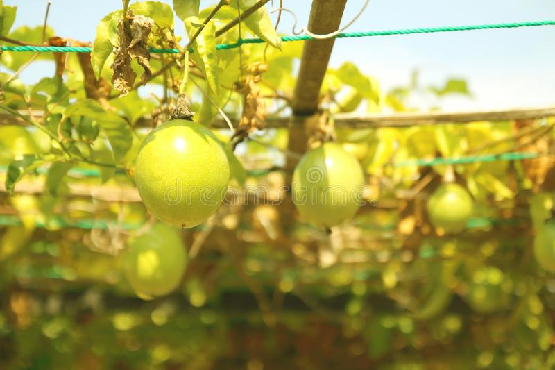 Ciérrese para arriba de la ejecución de la fruta de la pasión en el jardín fotografía de archivo libre de regalías