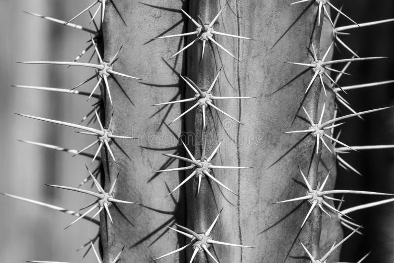 Ciérrese para arriba de la espina del cactus en blanco y negro foto de archivo libre de regalías