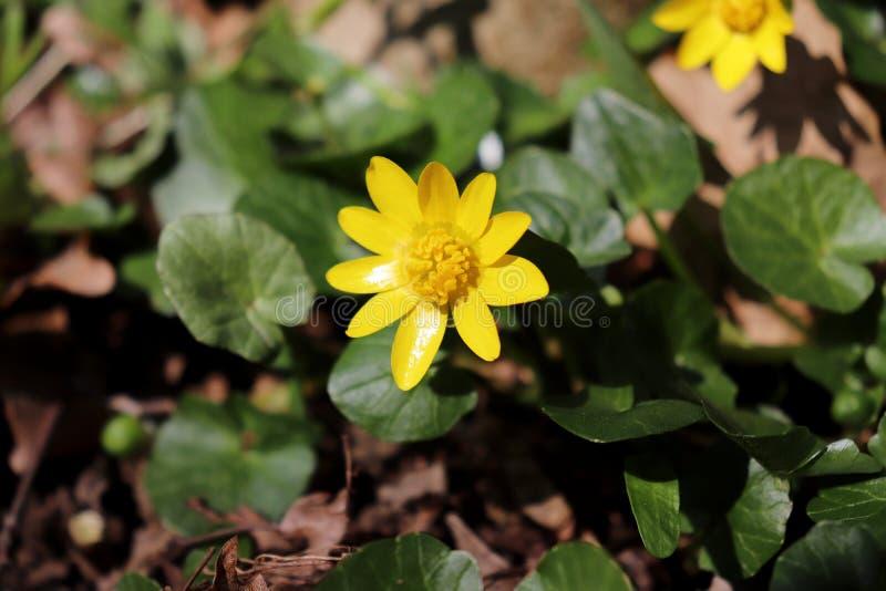 Ciérrese para arriba de la flor amarilla del verna de Ficaria conocida comúnmente como celidonia menor o la celidonia menor, es u imagen de archivo