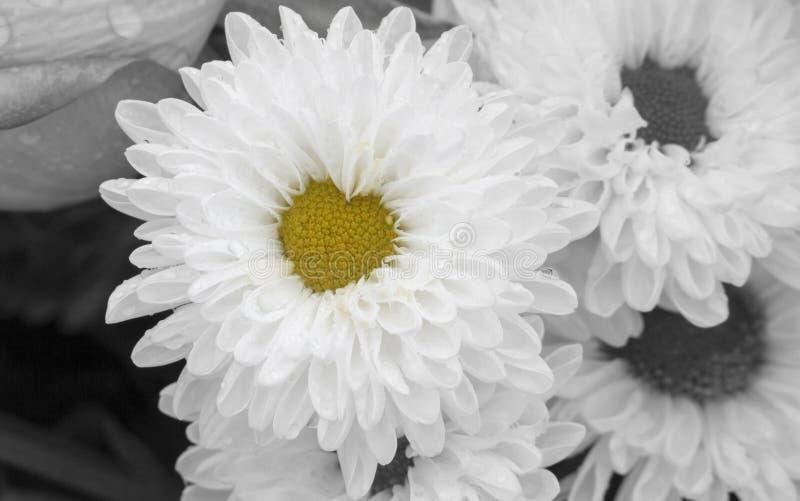 Ciérrese para arriba de la flor blanca del crisantemo en la plena floración con el centro en forma de corazón Fondo y concepto ro fotografía de archivo libre de regalías