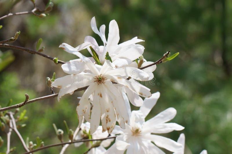 Ciérrese para arriba de la flor blanca de la magnolia imagen de archivo libre de regalías