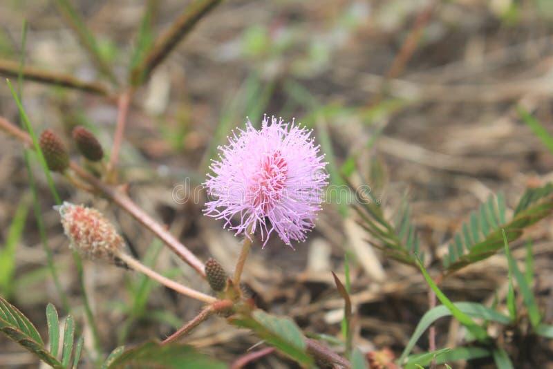 Ciérrese para arriba de la flor de Pudica de la mimosa imágenes de archivo libres de regalías