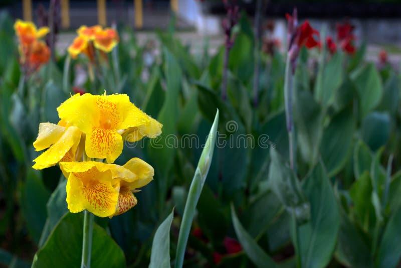 Ciérrese para arriba de la flor indica del canna amarillo con gro de la parte posterior de la planta verde imagenes de archivo