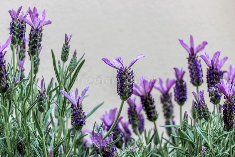 Ciérrese para arriba de la flor de la lavanda francesa fotos de archivo libres de regalías
