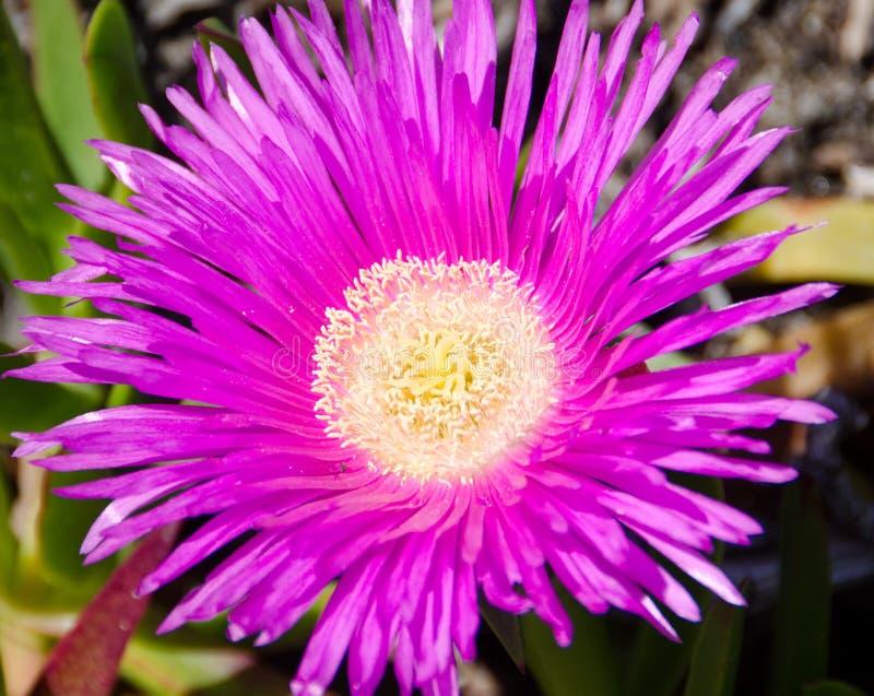 Ciérrese para arriba de la flor púrpura foto de archivo libre de regalías