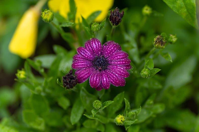 Ciérrese para arriba de la flor púrpura con gotas de lluvia en foco suave imagen de archivo libre de regalías