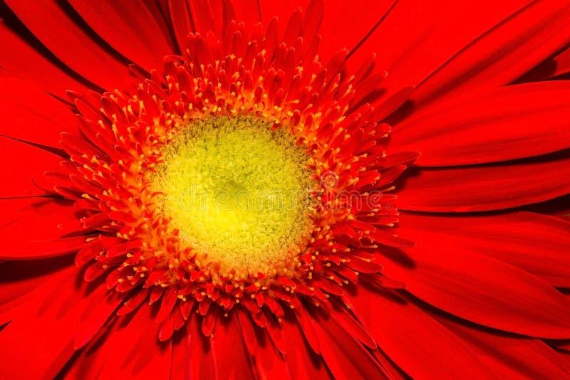 Ciérrese para arriba de la flor roja del gerbera con el centro amarillo y los pétalos rojos hermosos foto de archivo