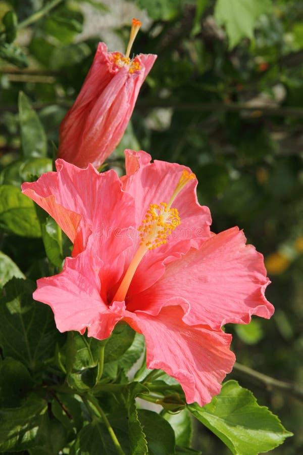 Ciérrese para arriba de la flor rosada del hibisco fotos de archivo libres de regalías