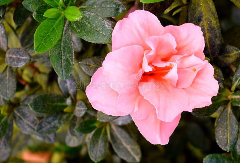 Ciérrese para arriba de la flor rosada hermosa de la azalea - rododendro Simsii con las hojas verdes fotos de archivo