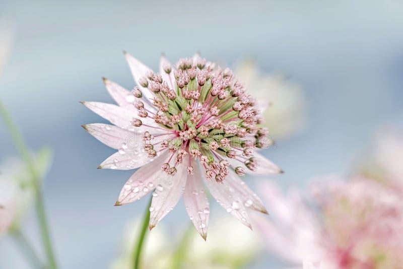 Ciérrese para arriba de la flor rosada de Masterwort fotos de archivo