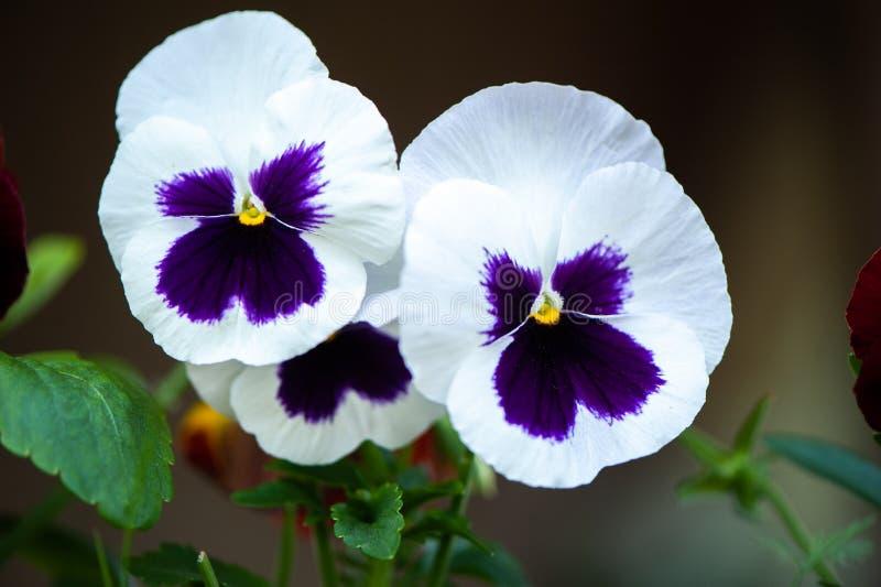 Ciérrese para arriba de la floración azul y blanca de las flores o de los pensamientos del pensamiento foto de archivo