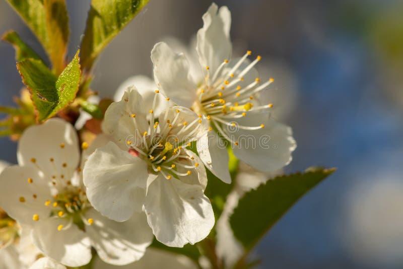 Ci?rrese para arriba de la floraci?n blanca de la manzana en luz del sol fotografía de archivo