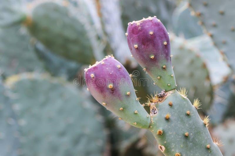 Ciérrese para arriba de la fruta en la planta verde del cactus foto de archivo libre de regalías