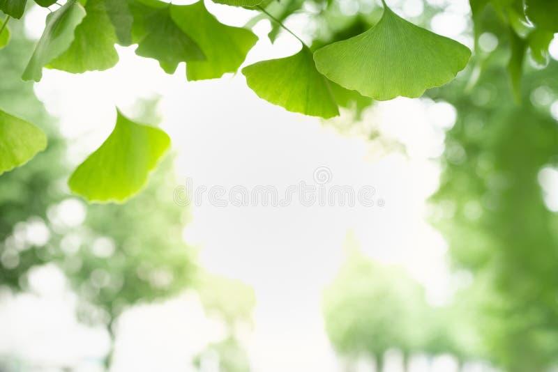 Ciérrese para arriba de la hoja del Ginkgo del verde de la opinión de la naturaleza en fondo borroso del verdor bajo luz del sol  fotografía de archivo libre de regalías