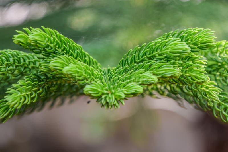 Ciérrese para arriba de la hoja del pino imágenes de archivo libres de regalías