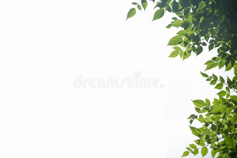 Ciérrese para arriba de la hoja del verde de la opinión de la naturaleza con verdor borroso en fondo blanco aislado con el espaci fotos de archivo libres de regalías