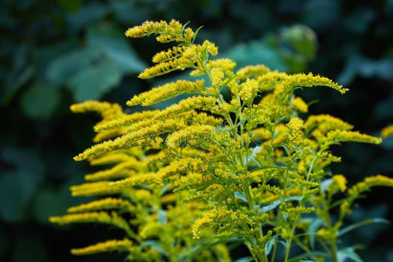 Ciérrese para arriba de la inflorescencia amarilla floreciente del canadensis de la solidago fotos de archivo