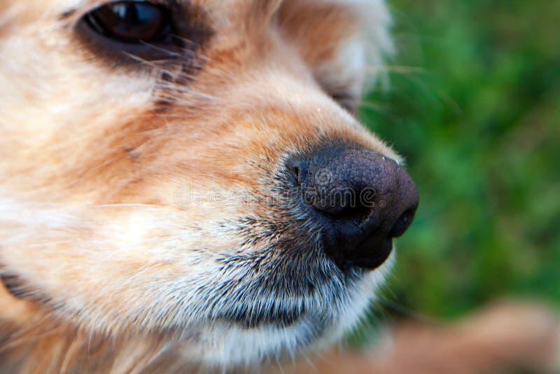 Ciérrese para arriba de la nariz de Cocker Spaniel del americano Foco selectivo imagen de archivo
