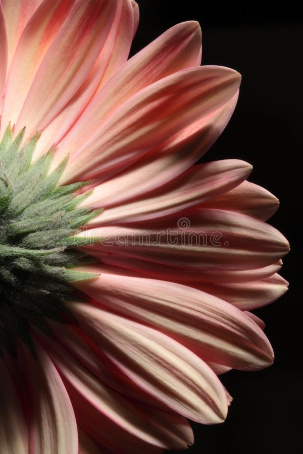 Ciérrese para arriba de la parte posterior de una flor del gerbera foto de archivo