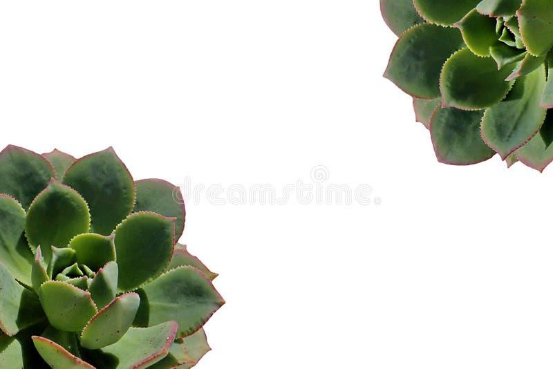 Ciérrese para arriba de la planta suculenta imágenes de archivo libres de regalías