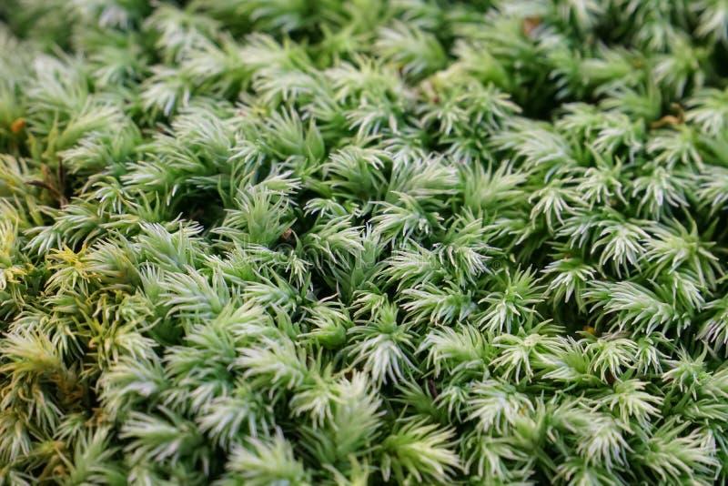 Ciérrese para arriba de la planta verde blanca del musgo fotos de archivo libres de regalías