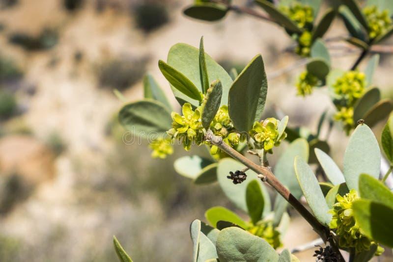 Ciérrese para arriba de la rama chinensis de florecimiento de Simmondsia de la jojoba, Joshua Tree National Park, California fotos de archivo libres de regalías