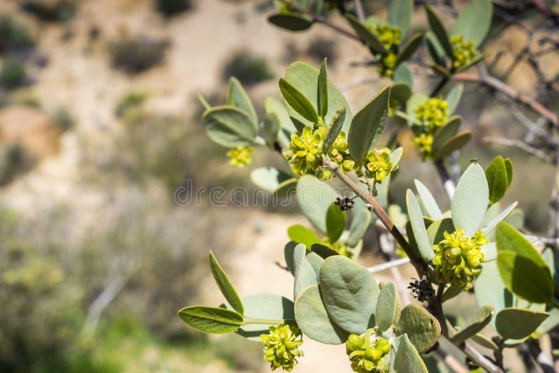 Ciérrese para arriba de la rama chinensis de florecimiento de Simmondsia de la jojoba, Joshua Tree National Park, California imagen de archivo