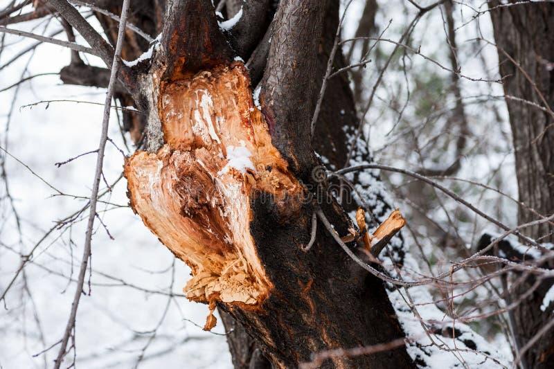 Ciérrese para arriba de la rama grande quebrada y dañada del árbol agrietada después de tormenta dura con nieve y de fuerte vient imagen de archivo libre de regalías