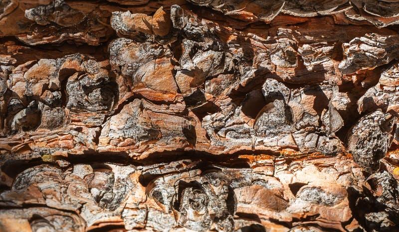 Ciérrese para arriba de la textura de la corteza de árbol de la picea fotografía de archivo libre de regalías