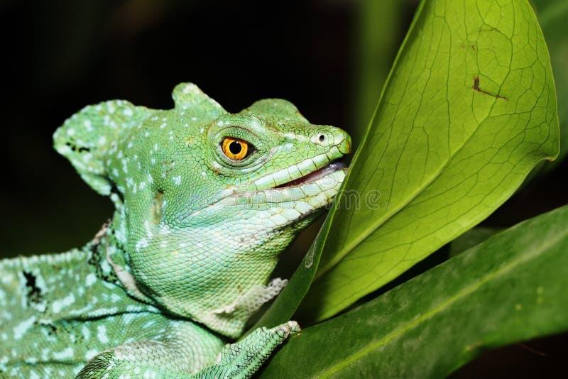 Ciérrese para arriba de lagarto verde del basilisco fotografía de archivo