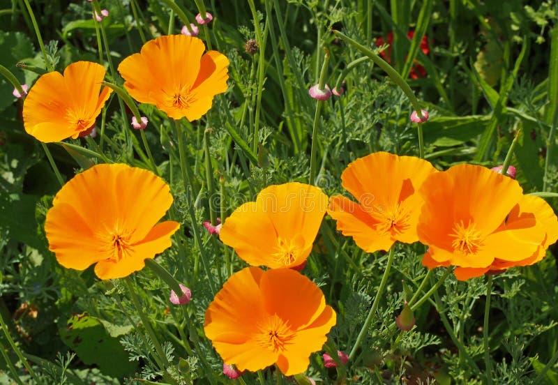 Ciérrese para arriba de las amapolas de California amarillas vivas que florecen en un prado en luz del sol brillante del verano imagen de archivo