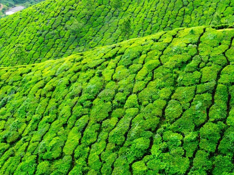 Ciérrese para arriba de las colinas del té de Munnar imágenes de archivo libres de regalías