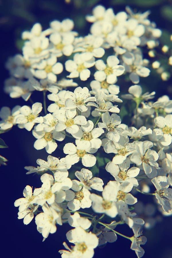Ciérrese para arriba de las flores blancas de Spirea foto de archivo
