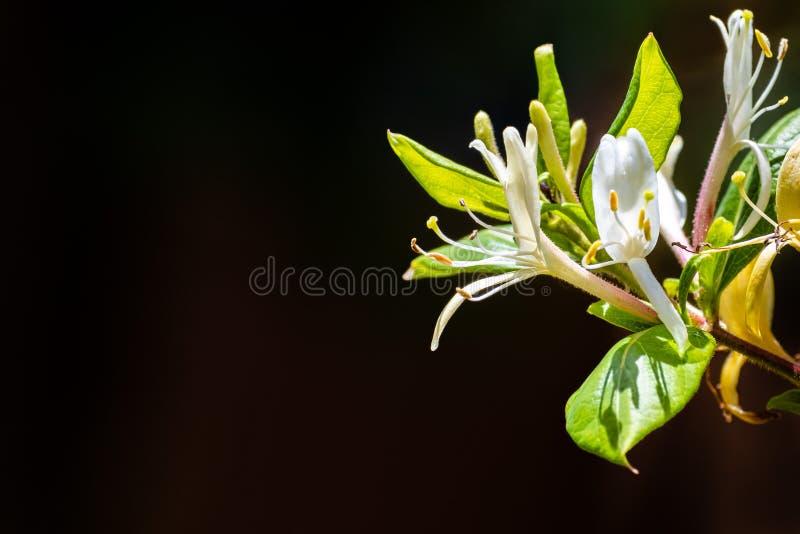 Ciérrese para arriba de las flores blancas del caprifolium de Honeysuckle Lonicera; fondo oscuro imagen de archivo