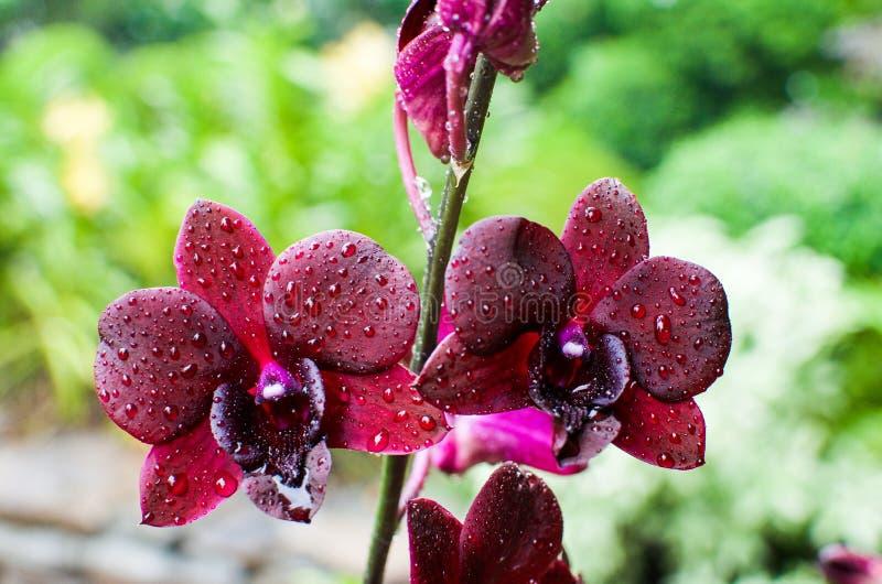 Ciérrese para arriba de las flores de la orquídea en el jardín botánico famoso de Singapur imagen de archivo libre de regalías