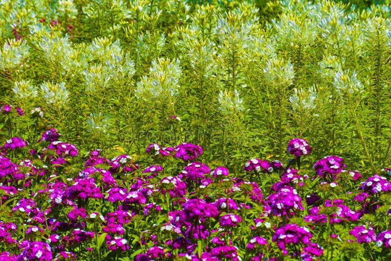 Ciérrese para arriba de las flores dulces de Guillermo en un macizo de flores imagenes de archivo