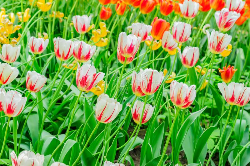 Ciérrese para arriba de las flores florecientes del tulipán de la primavera de diversos colores fotografía de archivo libre de regalías