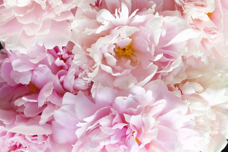 Ciérrese para arriba de las flores hermosas de la peonía Foto macra de los pétalos de las peonías imagen de archivo