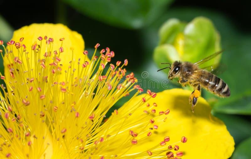 Ciérrese para arriba de las flores de polinización de una abeja mientras que busca el néctar imagen de archivo
