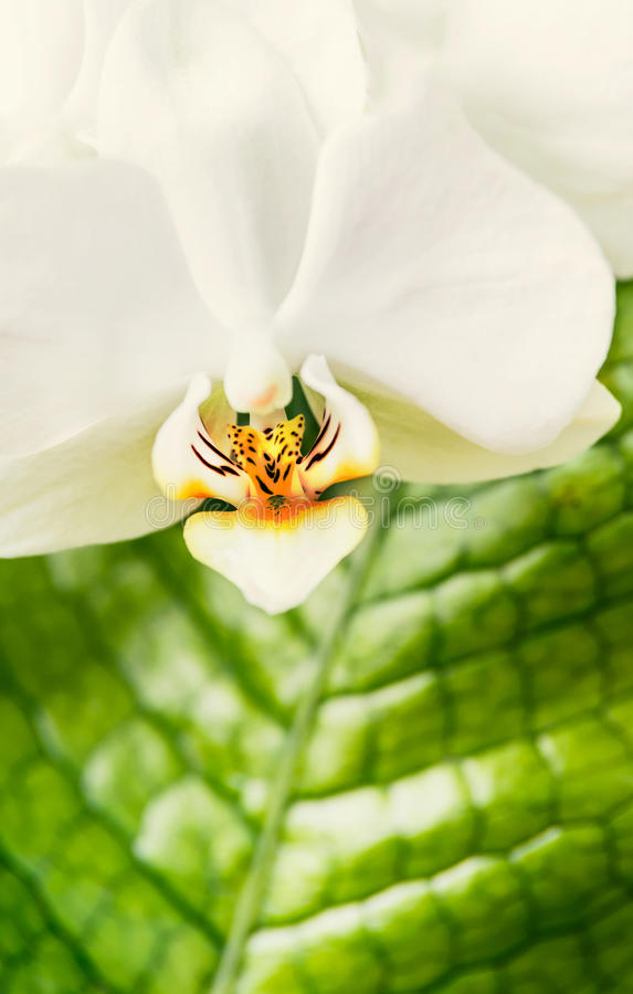 Ciérrese para arriba de las flores rojas blancas de la orquídea en el fondo verde de las hojas Naturaleza, balneario o salud fotos de archivo