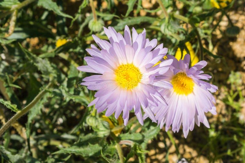 Ciérrese para arriba de las flores salvajes del tortifolia de Xylorhiza del aster de Mojave que florecen en Joshua Tree National  fotografía de archivo libre de regalías