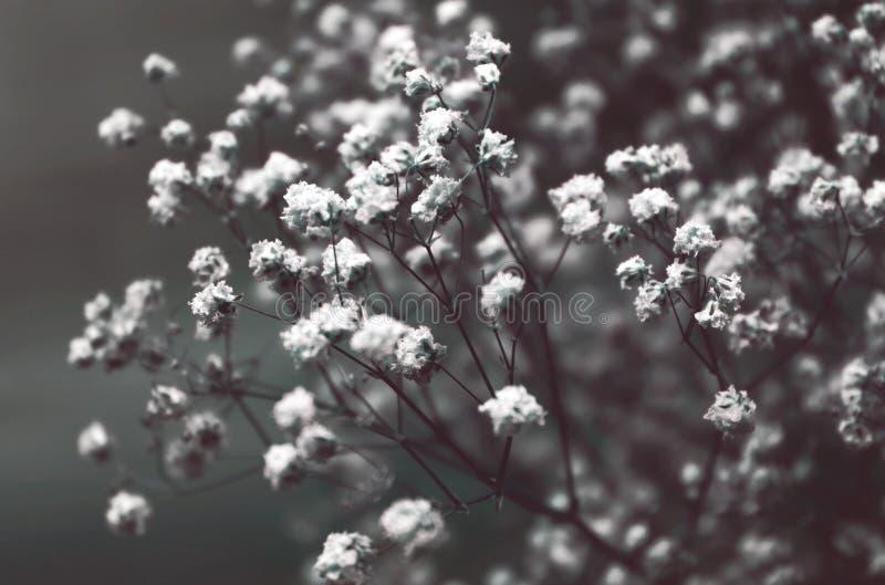 Ciérrese para arriba de las flores soñadoras hermosas del Gypsophila o de la Bebé-respiración del jardín stock de ilustración