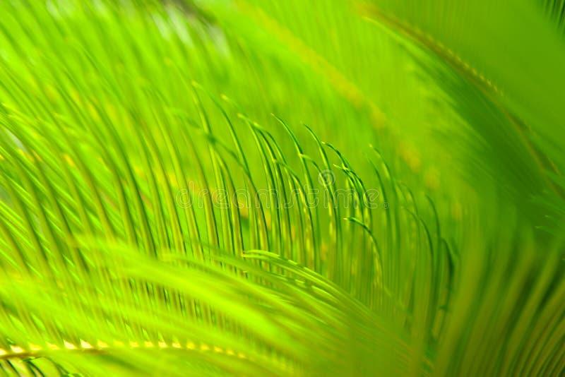 Ciérrese para arriba de las hojas verdes claras de la palmera imagenes de archivo