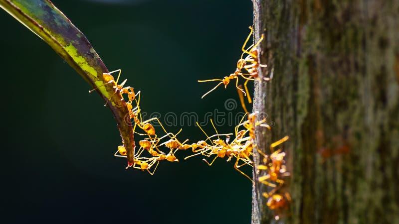 Ciérrese para arriba de las hormigas que hacen el puente con sus cuerpos foto de archivo
